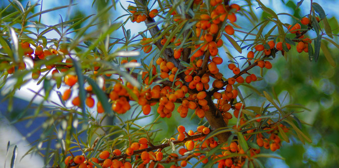 Sea Buckthorn tree